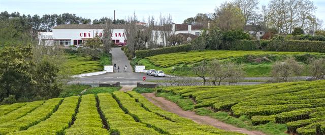Campos de Chá da Gorreana