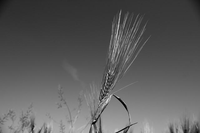Barley sheaf