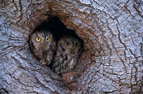 A couple Western Screech Owls
