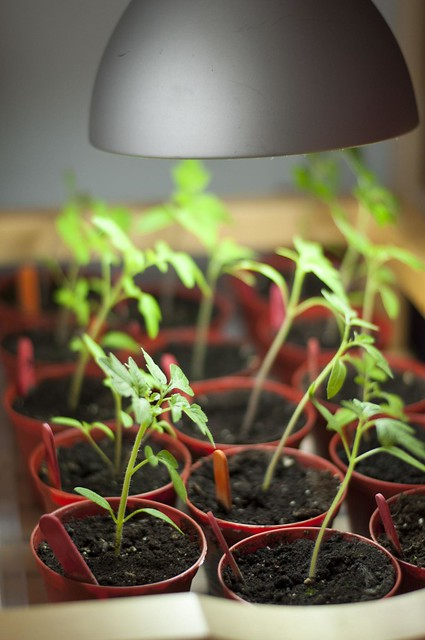 tomato under lights