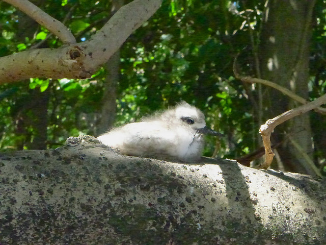 Seychelles-Cousin young bird waiting for mother