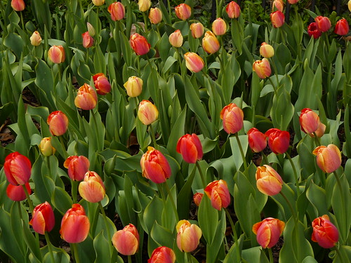 75 Tulips