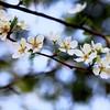 Plum Blossom   #Throwback   Marvi Rd   #Spring2014   Islamabad   Pakistan