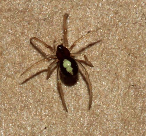 Spider 6077