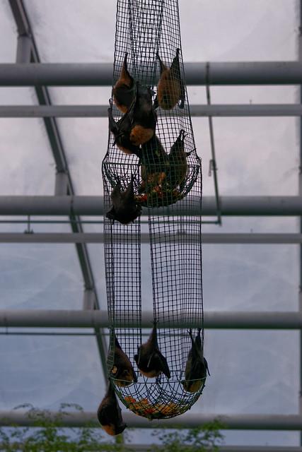 Pteropus rufus, Zoo Zürich