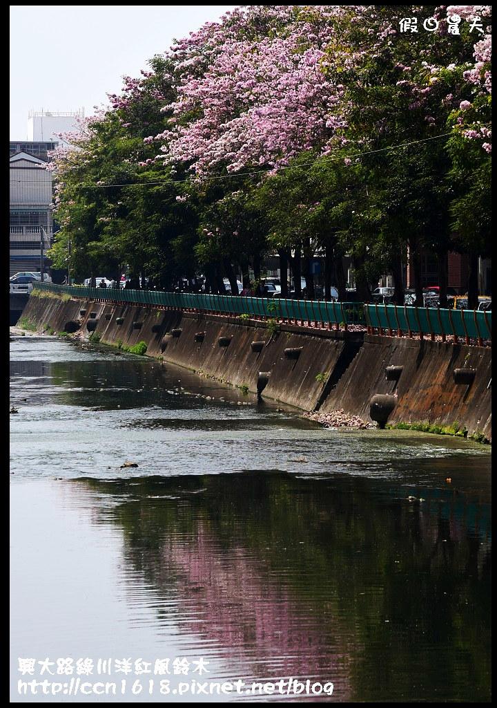 興大路綠川洋紅風鈴木DSC_2314