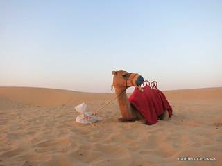 camel-dubai.jpg