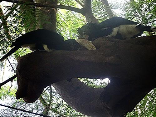 bycanistesbrevis naturguckerde silberwangenhornvogel 879702921 chorstschlüter 1549235199 ngidn212933728