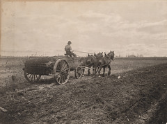 Spreading manure, 1906