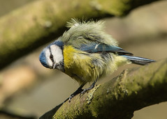 A bundle of feathers - Blue tit