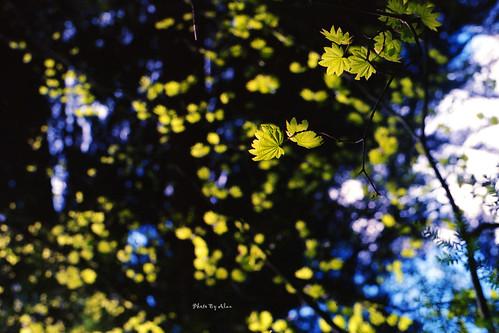 Spring Leaves - Film Voigtlander