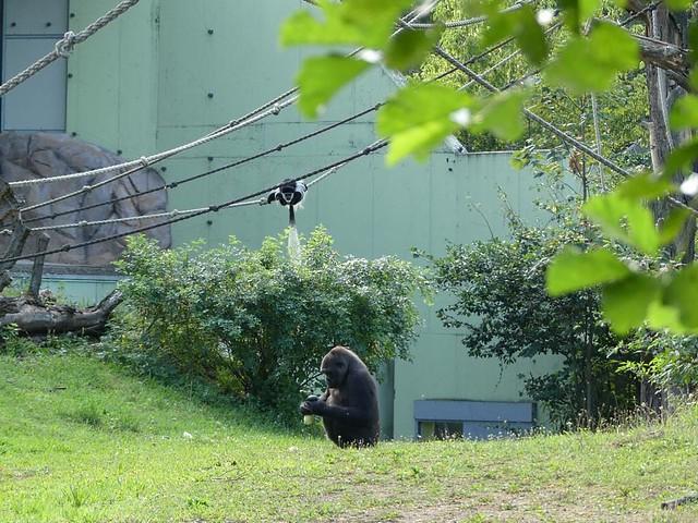 Gorilla und Guereza, Zoo Frankfurt