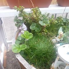 New growth; strawberry bush #mydaughtersfairygarden #mygarden61faulknerstreet -20/03/15