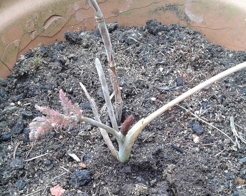 The fennel in its pot before planting, as big as it  ever gets. Normally it gets infested with aphids and does nothing.