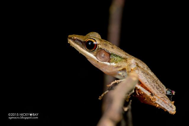 Copper-cheeked frog (Hylarana labialis) - DSC_5056