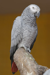 animal(1.0), parrot(1.0), wing(1.0), pet(1.0), fauna(1.0), close-up(1.0), beak(1.0), african grey(1.0), bird(1.0),