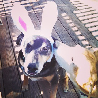 My Hounds, Tut & Sophie... Working on some new bunny ear pics #dogstagram #instadog #houndmix #bunnyears #spring #ilovemydogs