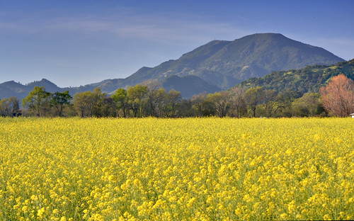 flower yellow calistoga napavalley napa mustard mtsthelena nikon5018 nikond5100