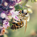 Bee on Basil by Muzzlehatch