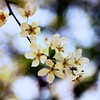 Plum Blossom   #Throwback   Marvi Rd   #Spring2014   #Islamabad   Pakistan
