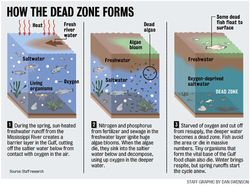 Dead Zone(死區)的形成:(1)春天時,溫度較高的淡水從密西西比河流入墨西哥海灣,形成了一個屏障,阻隔下方海水進行氧氣交換。(2)從肥料和汙水中而來的氮、磷營養鹽促成了大量藻類生長,等藻類死亡後,屍體會沉降到下方的海水被細菌分解,這個過程會消耗許多氧氣。(3)下方海水的氧氣濃度越來越低又無法進行氧氣交換,死區就此形成。 圖片來源:Nola.com(image Credit: Dan Swenson )