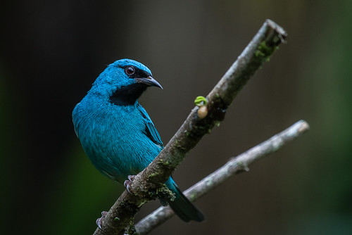 Dacnis Cayana (male)
