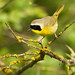 Common yellowthroated warbler, male