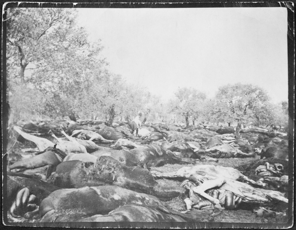 Horses of the 3rd Light Horse Brigade destroyed after armistice, Tripoli, Syria, 1918 / R.N. Wardle