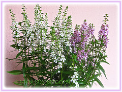 Potted Angelonia angustifolia 'Angelface Alba/White' and 'Angelmist Lavender' - Dec 12 2014