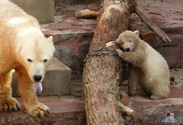Eisbär Fiete Zoo Rostock 11.04.2015 Teil 1 67