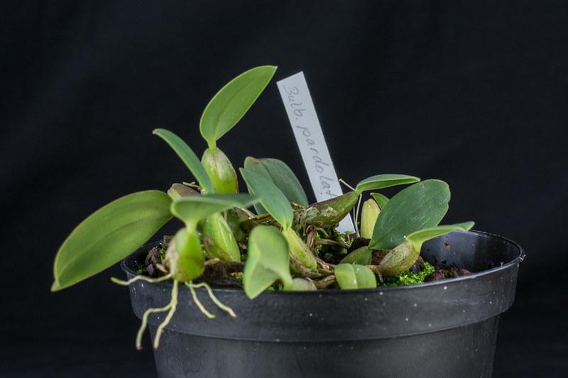 Bulbophyllum pardalotum 17232744188_b36a387ec0_c
