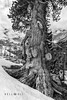 160280  Ancient Swiss stone pine tree by bellodis