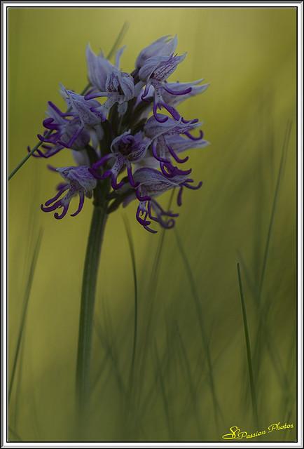 Orchis singe 32