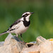 Small photo of African Pied Wagtail
