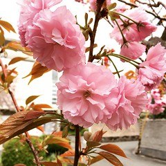 the double petal sakura have started blooming🌸 #sakura #minoo #osaka @rainenut