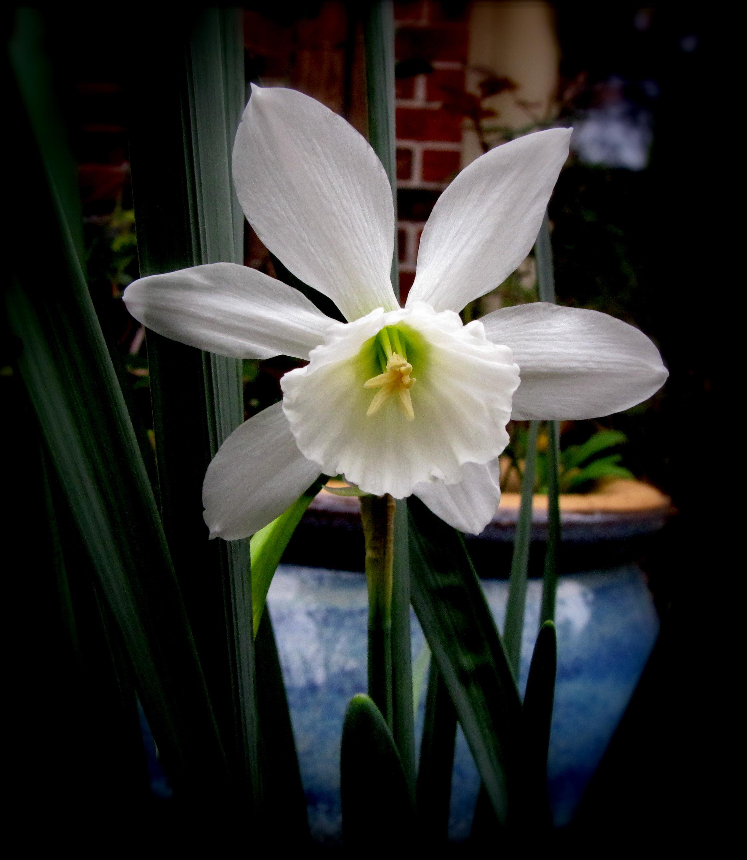 Mini-Daffodill