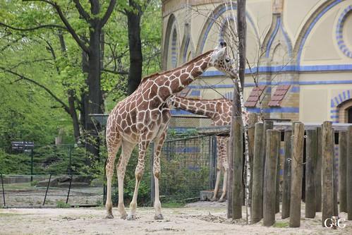 Zoo Berlin 26.04.201576