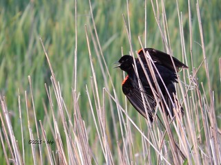 The Darth Vader of the Red-Winged Blackbird World