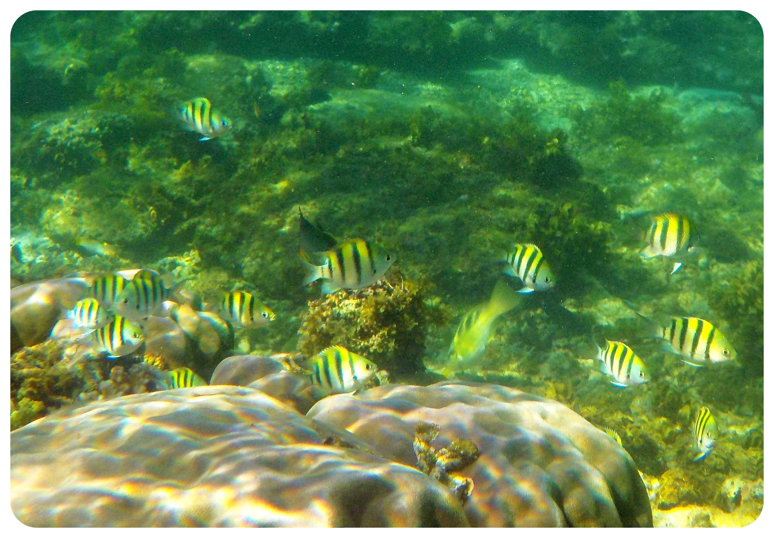 apo island fish