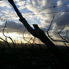 Nous terminerons cette saison de #taille par les #Chardonnay de #Notre-Dame à #Celles-lès-Condé. Les vins clairs de ce terroir seront à déguster à #TerresetVins au #PalaisduTau le 20 Avril. (version #amphore) #savethedate #Champagne #Tarlant