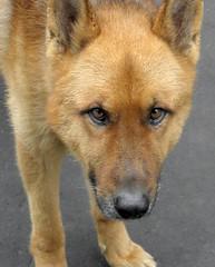 dog breed, animal, dingo, akita inu, akita, dog, czechoslovakian wolfdog, shiba inu, carolina dog, canaan dog, pet, street dog, shikoku, greenland dog, finnish spitz, korean jindo dog, wolfdog, saarloos wolfdog, carnivoran, icelandic sheepdog,