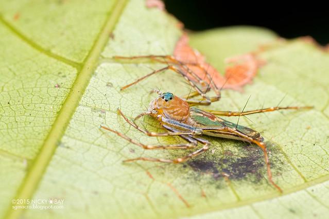 Lynx spider (Hamadruas sp.) - DSC_4021