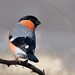 Eurasian Bullfinch, Pyrrhula pyrrhula by Nature Exposed