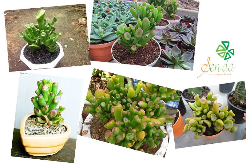 caysenda.com | sen da | xuong rong | tieu canh sen da | art plant | terrarium | sen ong dieu