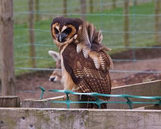 Windblown owl