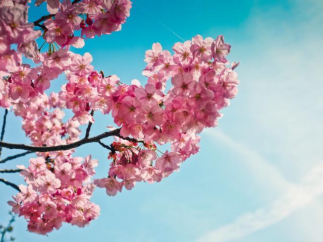 Sakura.(Cherry blossoms )