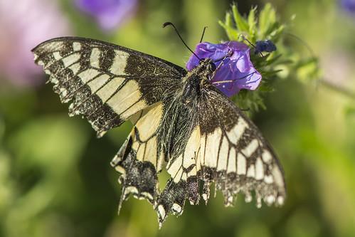 Macaón (Papilio machaon)