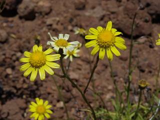 Madagascar ragwort, Senecio madagascariensis