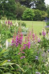 annual plant, prairie, flower, garden, herb, wildflower, flora, digitalis, meadow,