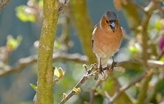 Common Chaffinch (Fringilla coelebs) male singing